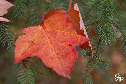 Photo: Red Maple Leaf in the BWCA in northern Minnesota. Photo by Chris J. Benson