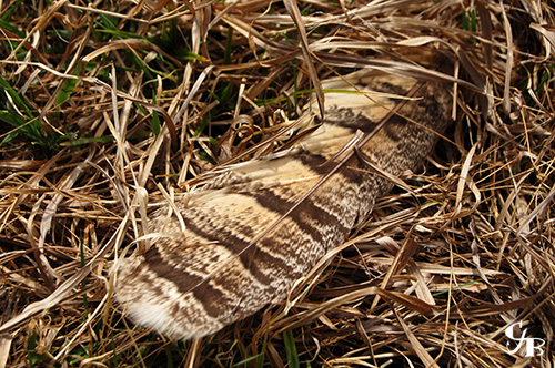 Photo: Grouse feather in the grass in northern Minnesota. Photo by Chris J. Benson