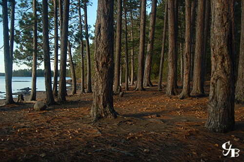 Photo: Red pines on the shore of a BWCA lake in northern Minnesota. Photo by Chris J. Benson
