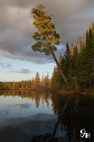 Photo: White pine tree on the shore of a trout lake in northern Minnesota. Photo by Chris J. Benson