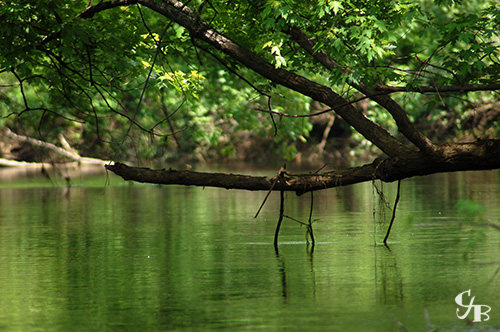 Photo: Tree overhanging the St. Louis River in northern Minnesota. Photo by Chris J. Benson